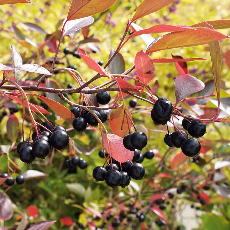Obstgehölz Apfelbeere 'Hugin'