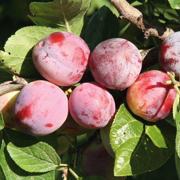 Obstgehölz 'Löhrpflaume'