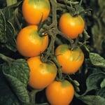 Gemüsesamen 'Widerstandsfähige Tomaten No. 1'