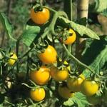 Gemüsesamen 'Widerstandsfähige Tomaten No. 2'