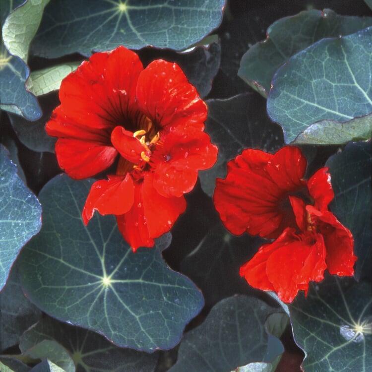 Blumensamen 'Historische Kapuzinerkresse'