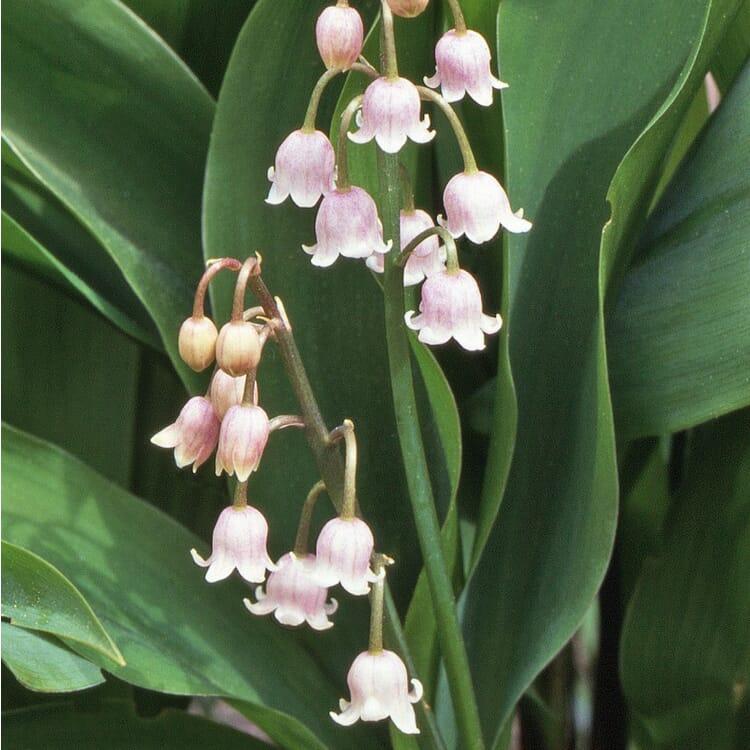 Blumenzwiebeln Maiglöckchen 'Rosea'