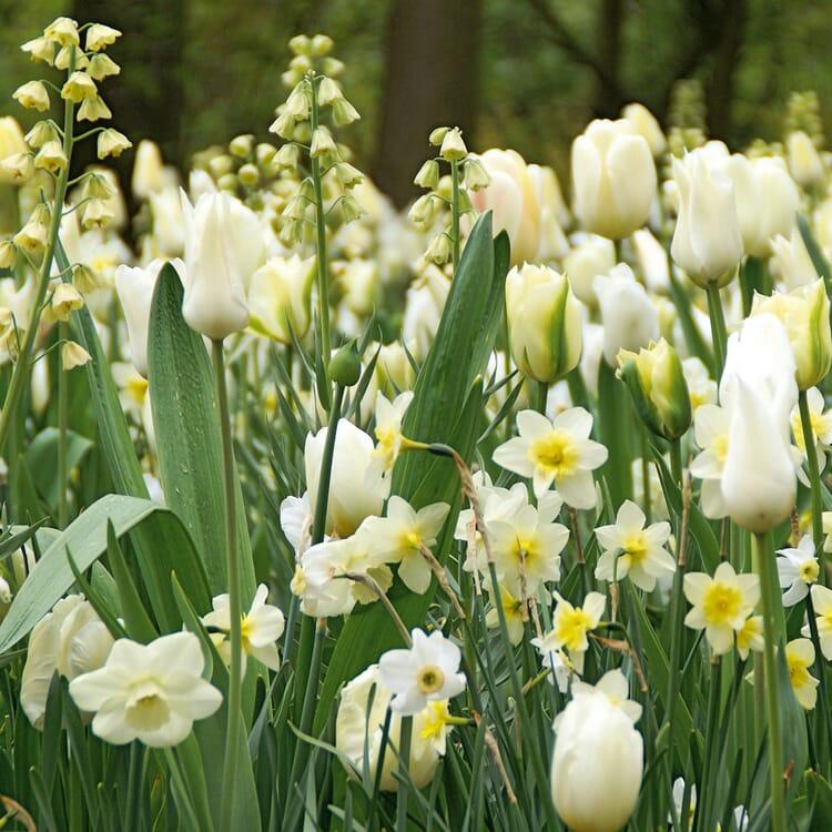 Blumenzwiebeln Weiße Blumenzwiebelmischung