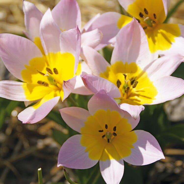 Blumenzwiebeln Kretische Tulpe