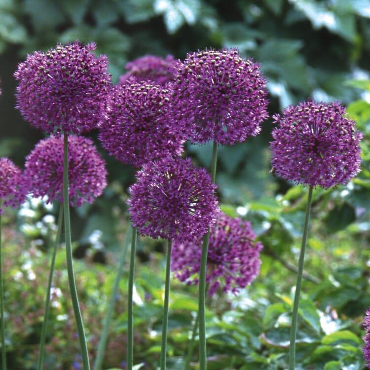 Blumenzwiebeln Iranlauch 'Purple Sensation'