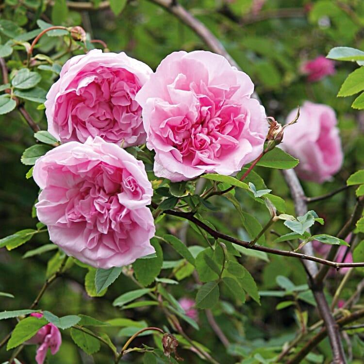 Ramblerrose 'Mme Sancy de Parabère'