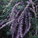 Schmetterlingsstrauch 'Hänge-Buddleie'