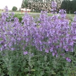 Kombipaket Bienen- und Klimawandelstauden