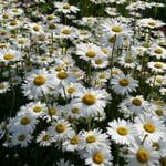 Kombipaket Stauden für Schmetterlinge, Bienen, Wildbienen und Hummeln